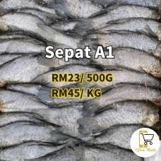 Ikan Sepat A1
