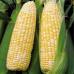 Pearl Sweet Corn 5nos/pack