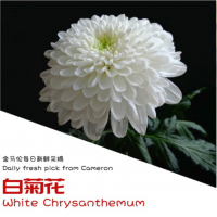 White Chrysanthemum (6pcs) Half Oz