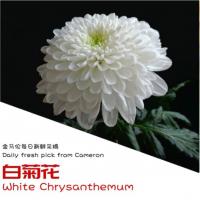 White Chrysanthemum (6pcs) Half Oz