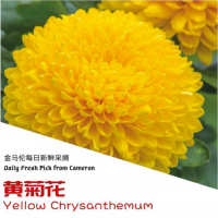 Yellow Chrysanthemum (6pcs) Half Oz